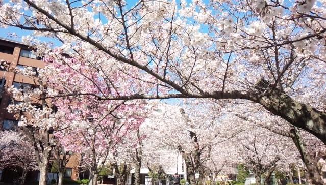 大阪府八尾市桜ヶ丘の桜ヶ丘公園の桜